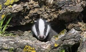 A badger cub in its den
