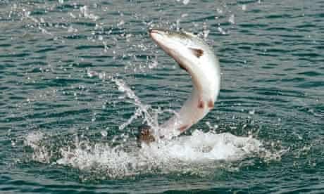 A salmon jumps on a salmon farm