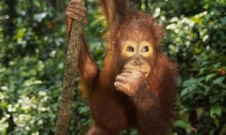 An orang-utan in Borneo
