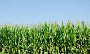 Corn field and blue sky. Photograph: Anthony-Masterson/Getty Images