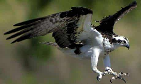 An osprey ready to pounce