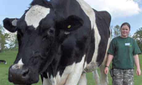 Chilli, a Friesian bullock, is set to become Britain's tallest bullock at 6ft 6ins