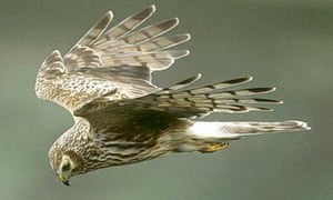 An adult female Hen harrier in flight whilst hunting