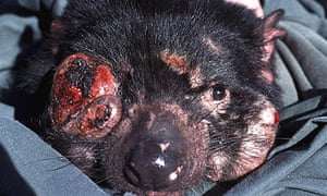 A Tasmanian devil with a cancerous growth on its face.