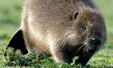 Up to four families of beavers are to be released in a secluded forest in south-west Scotland