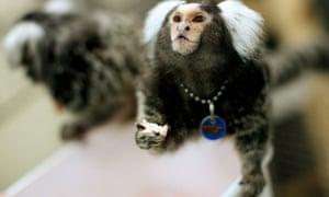 Animal research: Marmoset monkeys