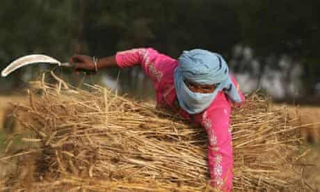 An Indian woman harvests wheat
