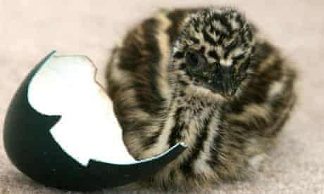 Osborne the baby emu with part of the egg he hatched from in Bexhill, East Sussex