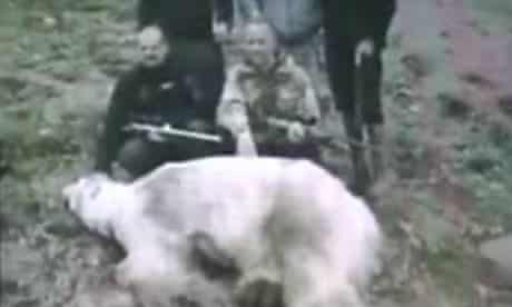 The polar lies dead after being shot by police in Iceland