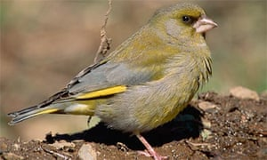 A greenfinch