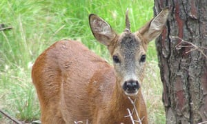 A roe deer with only one horn growing from the middle of its forehead roams a park in Tuscany. Photograph: Carlo Ferraro/EPA