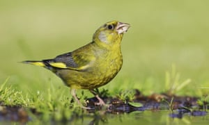 Greenfinch by a pond