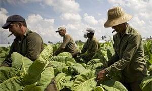 Farmers work in a tobacco field in the western province of Pinar del Rio, Cuba