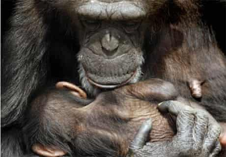 A female chimpanzee holds her baby