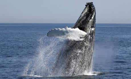 A humpback whale breaches off the coast of Gloucester, Massachusetts. Photograph:Mary Schwalm/Reuters