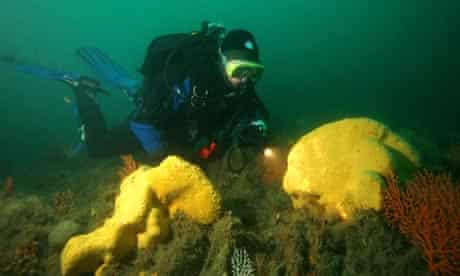 Cliona celata This brilliant yellow sponge was found on Morlaix, Brittany at 38 meters.