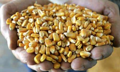 Corn used for biofuel