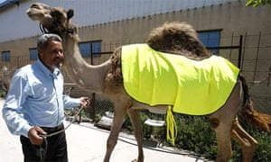 A camel wears a fluorescent vest next to his beaming owner in the town of Kafr Kassem in central Israel