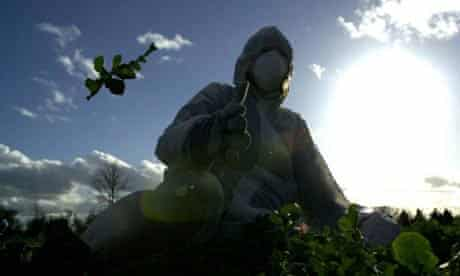A protester tearing up GM crops