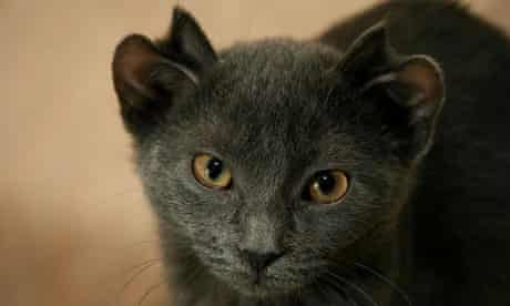 Yoda, the cat with four ears