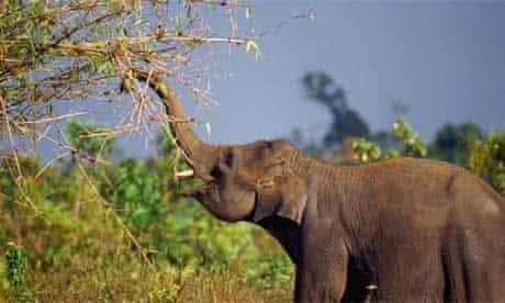 Indian elephant feeds on bamboo