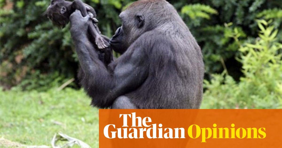 Craig Redmond Claude The Baby Gorilla S Death Wasn T The