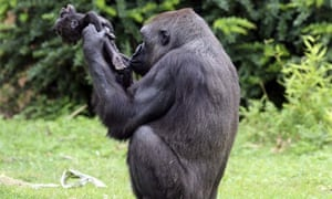 8fa39ebae6b2 Gana the gorilla carries her dead baby on her shoulder at the zoo in  Muenster