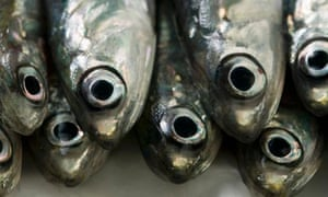 Several fresh anchovies close up
