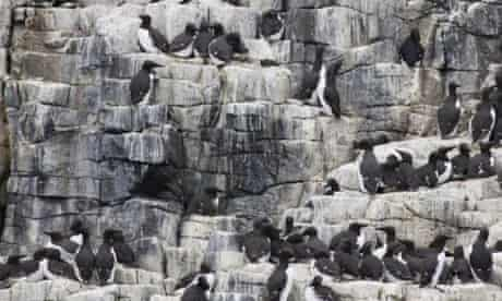 Guillemot colony on the Isle of May