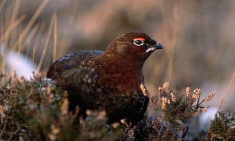 A grouse on an estate in Angus, Scotland