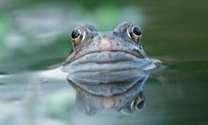 The common European frog