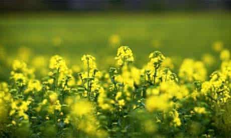GM crops, winter oilseed rape