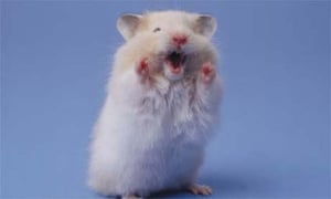 child health hamsters and chicks are dangerous doctors warn