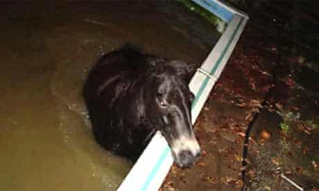 Fat Boy swim: a drunk pony had to be rescued from a swimming pool after he gorged on fermented apples and fell in