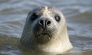 Common seal, phoca vitulina