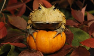 """""""A Surinam horned frog sits on top of a pumpkin"""""""