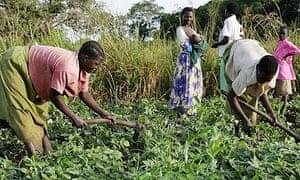 Women working in the fields in Katine, Uganda