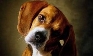 A Beagle puppy.