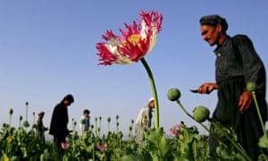 Afghan farmers in a poppy field