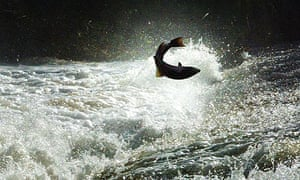 A salmon jumps Could weir on the river Tweed in the Scottish Borders