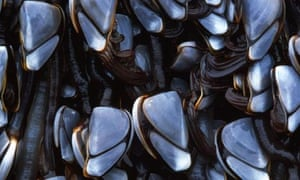 Goose barnacles, which are likely to decline dramatically as acid levels rise