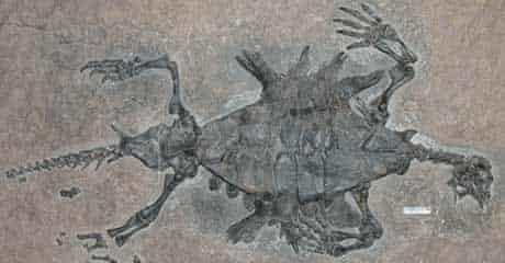 Fossilised turtle Odontochelys