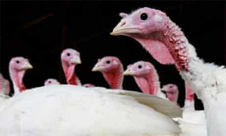 Turkeys at Thanksgiving