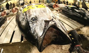 A large tuna lies on a pallet at the Tsukiji fish market in Tokyo