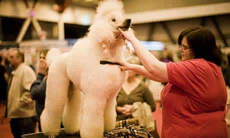 A standard poodle at the Kennel Club's Discover Dogs show