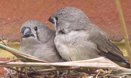 Zebra finch chicks