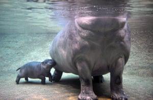 Gallery Baby hippopotamus: Baby hippopotamus