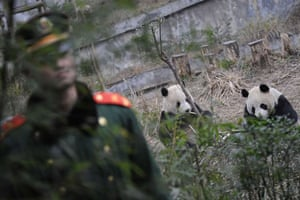 Gallery 22 December 2008: Yaan city, China: A PLA soldier guards two giant pandas