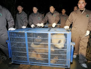 Gallery Panda peace offering: Workers transport giant pand