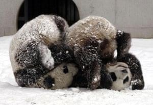 Gallery Panda peace offering: Tuan Tuan, Yuan Yuan